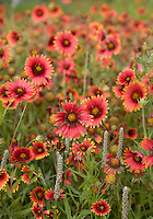 Indian Blankets near Llano, Texas.