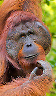 Alberto Carrera, Orangutan, Pongo pygmaeus, Sekonyer River, Tanjung Puting National Park, Kalimantan, Borneo, Indonesia