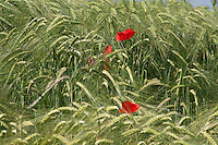 poppies in wheat field on brilliant green background of wheat spikes with shades of green and contrasts