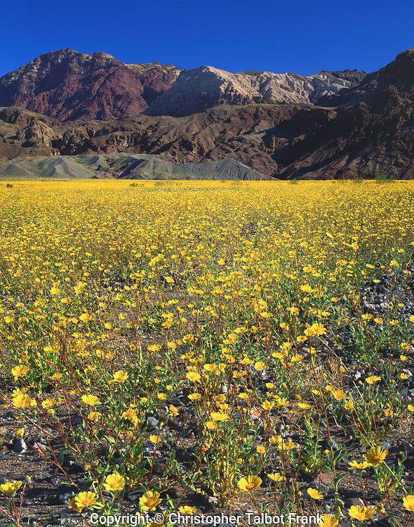 USA, California,  Death Valley National Park.  Death Valley Wildflowers.  Desert Sunflowers.