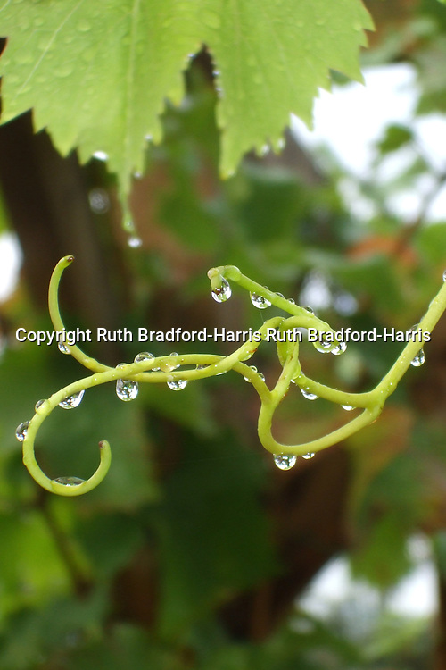Raindrops hang from the tendrils of the grapevine Vitis vinifera 'Dornfelder', sometimes in defiance of gravity! It is well worth zooming in on this image - the droplets contain inverted views of the pergola on which the vine is growing, together with the house, trees and sky beyond.<br /> <br /> This image is one of a sequence of two in this gallery. <br /> <br /> Date taken: 12 October 2011.
