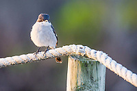 Fiscal Flycatcher, De Hoop Nature Reserve & Marine Protected Area, Western Cape, South Africa