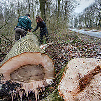 Nederland, Amstelveen, 17 januari 2017.<br />Boswachter Abe onderzoekt samen met een collega in de Amsterdamse bos, essen die beschimmeld zijn.<br />Op de foto is goed zichtbaar hoe bij doorsnede vd boom de binnenkant beschimmeld is.<br /><br /><br /><br />Foto: Jean-Pierre Jans