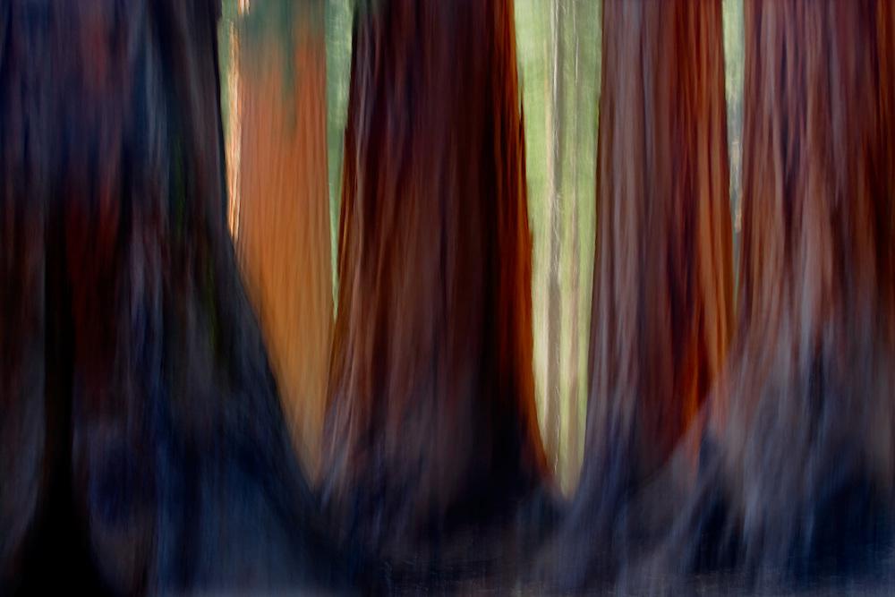 Giant Sequoias, Mariposa Grove, Yosemite National Park, California