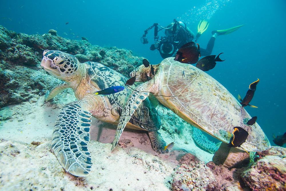Photographer taking a picture of Green Turtles, Chelonia mydas, Mabul Island, Sabah, Malaysia, Borneo, South China Sea,