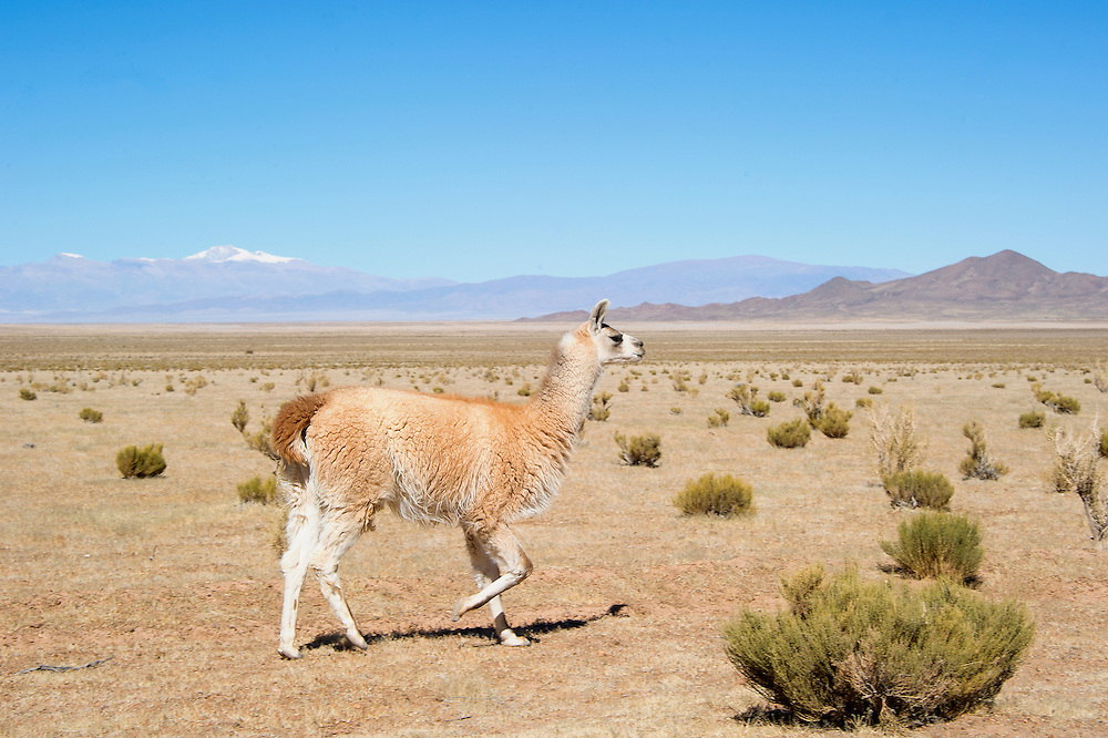 The llama (/ˈlɑːmə/; Spanish: [ˈʎama] locally: [ˈʝama] or [ˈʒama]) (Lama glama) is a domesticated South American camelid, widely used as a meat and pack animal by Andean cultures since pre-Hispanic times.<br />