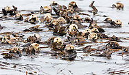 Raft of Sea Otters (Enhydra lutris) floating among kelp near Koniuji Island in Kupreanof Strait on Kodiak Island in Southwestern Alaska. Summer. Afternoon.