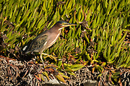 A green heron stands in pickleweed next to a water channel, Redwood Shores, CA.