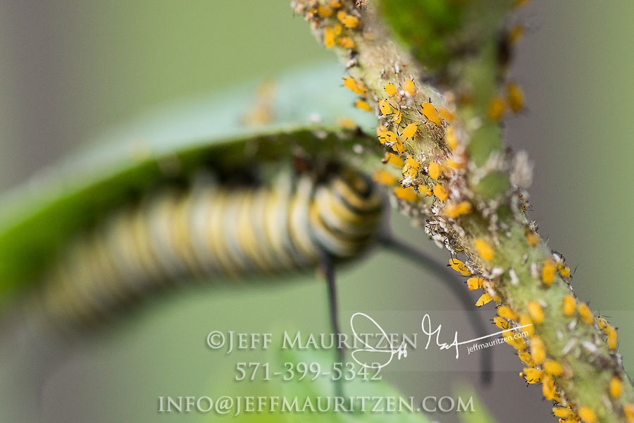 Oleander aphids share space with a Monarch catepillar on a Swamp milkweed plant.
