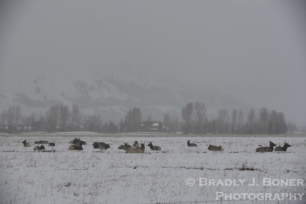 Elk at Stilson Ranch near Wilson, Wyoming