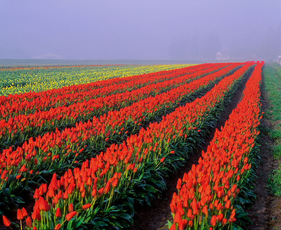 Rows of brilliant red tulips, & distant yellow tulips, Tulip Town, Skagit Valley Bulb Farm, Mt Vernon WA