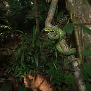 Phuket Pit Viper (Trimeresurus phuketensis) female in Phuket, Thailand