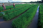 Rice fields - paddies - near Chiang Rai, Northern Thailand