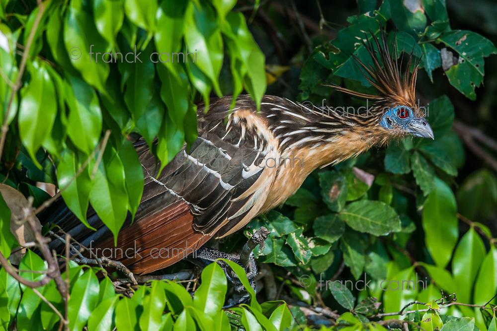 Shansho between branches peruvian Amazon jungle Madre de Dios Peru