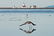 A blue heron takes off, reflected in the tidal flat near the old (now gone) Three Crabs restaurant in Sequim, along the strait of Juan de Fuca. The new Dungeness Lighthouse at the tip of the 5-mile long Dungeness Spit is in the background.