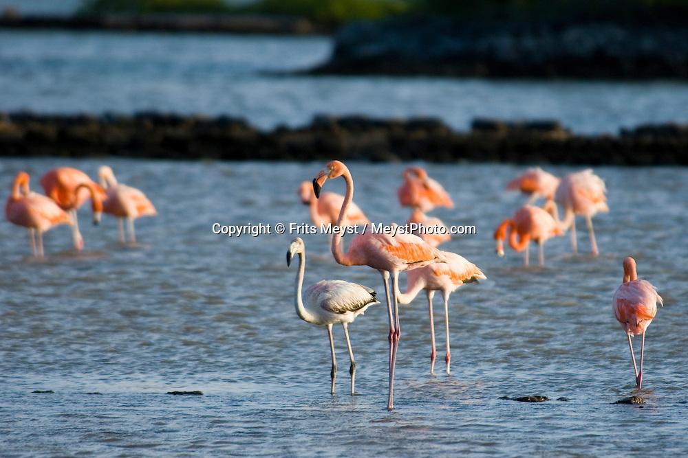 Salina Jan Kok, Curacao, Netherlands Antilles, April 2009. Flamingoes on their fishing grounds:  Salina Jan Kok salt pans.  Photo by Frits Meyst/Adventure4ever.com