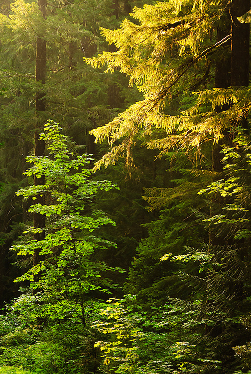 Trees in early morning light; Trailbridge Reservoir, Willamette National Forest, Oregon.