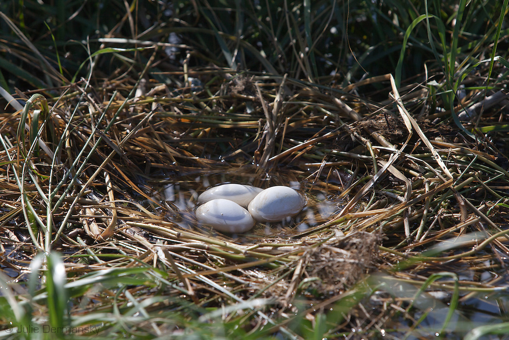 A flooded  bird's nest  in marsh grass on a barrier island in Barrataria Bay in Plaquimens Parish, Louisian, vunerable to the rising tides. The barrier islands in the Gulf of Mexico are threaten by coastal erosion that was sped up  since  the BP oil spill which killed the grass and mangrove trees which hold the islands together. Plaquimens Parish started it's own coastal restoration project for Cat Island, a bird rookery for the pelican ahead of the  Restore the Coast act for fear their would be too little of the island left to save.
