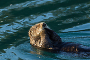 Northern sea otter in Alaska