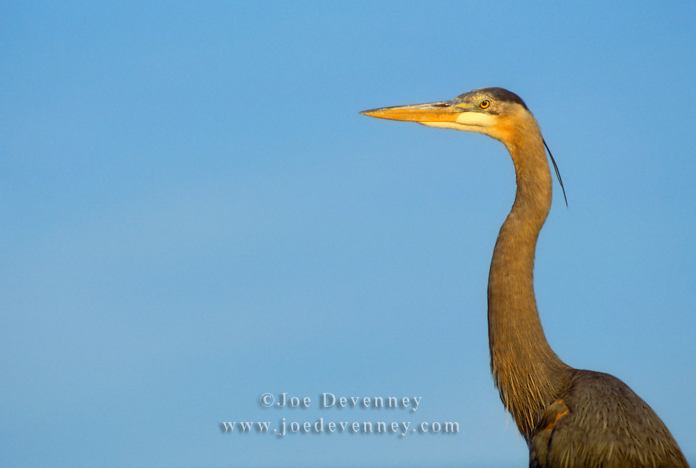Great Blue Heron (Ardea herodias) and a bright blue sky