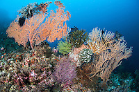 Reef Slope with Colorful Gorgonians and Crinoids<br /> <br /> Shot in Indonesia