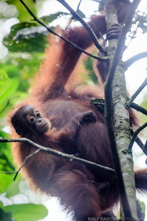 Female Orang Utan (Pongo pygmaeus) with juvenile in Danum Valley  (Borneo, Malaysia)