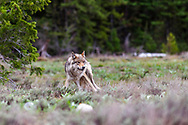 Alert Pacific Creek Grey Wolf, alpha female, Grand Teton National Park. This is one of four wolves that aborted a elk hunt to see if this slow photographer was an easy meal opportunity.<br /> <br /> Read Story<br /> http://daryl-hunter.net/hungry-wolves