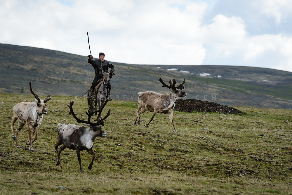 Dukha (Tsaatan) reindeer herder on horseback chasing reindeer back to their herd. Approximately 200 families comprise the Tsaatan or Dukha community in northwestern Mongolia, whose existence is intimately linked to their herds of reindeer. Photo © Robert van Sluis