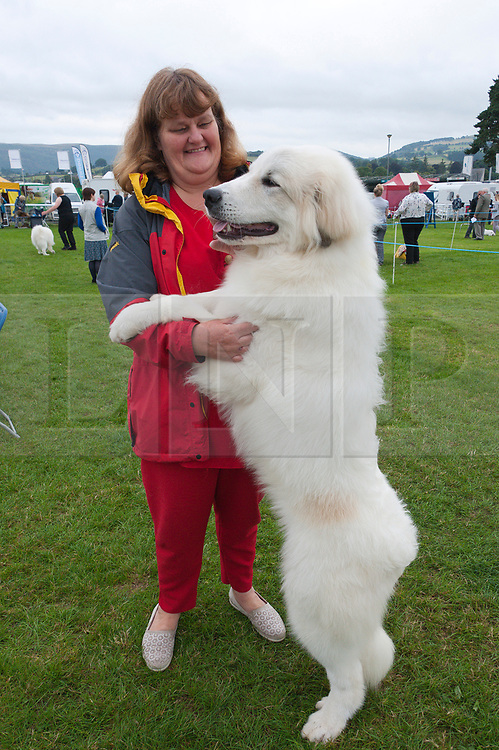 © Licensed to London News Pictures. 18/08/2018. Llanelwedd, Powys, UK. A Pyrenean Mountain Dog with it's owner on the second day of The Welsh Kennel Club Dog Show, held at the Royal Welsh Showground, Llanelwedd in Powys, Wales, UK. Photo credit: Graham M. Lawrence/LNP