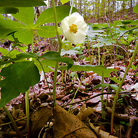 Catawba Wildflower Glen 04 2015