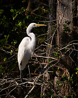 Great Egret along the Loop Road in Big Cypress National Preserve. Winter Nature in Florida Image taken with a Nikon D4 camera and 80-400 mm VRII telephoto zoom lens.