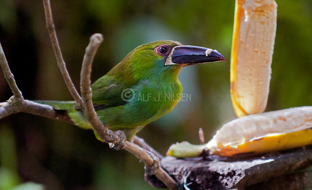 Crimson-rumped Toucanet (Aulacorhynchus haematopygus) from the cloud forest near Mindo, Ecuador.