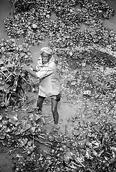 BANGLADESH DINAJPUR OCT94 - A farmer collects water lillies in rural Dinajpur, northern Bangladesh...jre/Photo by Jiri Rezac..© Jiri Rezac 1994