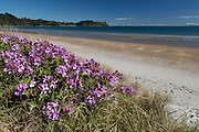 Geraniums along Onetangi Beach, Waiheke Island, New Zealand