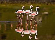 Greater Flamingo - Phoenicopterus roseus