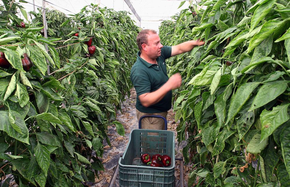 """EUROPE - SPAIN - EL EJIDO ; Illegal Immigration - VEGETABLE & FRUIT Production in Andalusia ; EL PLASTICO ; Exploitation of African workers;.The fruits and vegetables grown in the area are worth about $1.8 billion a year. Most of the workers are Moroccans, often called """"Moros"""" in reference to the Moors who ruled southern Spain for 700 years; Europa - SPANIEN - Landwirtschaft.Die Region um El Ejido, Provinz Almeria in Andalusien, gilt als Europas  größter agrarindustriell genutzter """"Wintergarten"""". Unter ca. 36.000 Hektar Plastik (Treibhäusern) wird ganzjährig Obst und Gemüse angebaut, welches zum Großteil in Supermärkten in Nordeuropa, Deutschland und England verkauft wird... Unter den Plastikplanen werden ca. 60.000, meist illegale Einwanderer aus Marokko, Schwarzafrika, Osteuropa beschäftigt. Arbeitsschutz und Mindestlöhne werden nicht eingehalten. .HIER:  Spanischer Kleinbauer Manuel Flores kann sich keine Erntehelfer leisten; Paprikaernte; Er bekommt vom Großhändler 30 Cent pro Kilo - in deutschland kostet das Kilo Paprika im Supermarkt ca. 3 Euro....23.03.2007.Copyright: Christian Jungeblodt"""