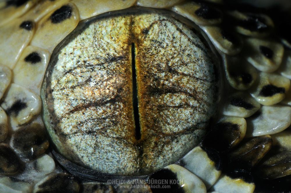 DEU, Deutschland: Auge einer Nashornviper (Bitis nasicornis), Augentyp: Linsenauge; schlitzfoermige, senkrechte Pupille, Schlangen verfuegen ueber ein breites Sehfeld (von 125° bis 135°); sie  sind auch zu dem zur Entfernungseinschaetzung und Erkennung von Bodenunebenheiten wichtigen binokularen Sehen faehig; bei Schlangen betraegt die Ueberdeckung des linken und es rechten Sehfeldes  etwas 30°;  Schlangen koennen ihre Augen weder drehen, noch schliessen, schlafen mit offenen Augen; Augengroesse ca. 7 mm; Rheinberg, Nordrhein-Westfalen | DEU, Germany: Eye of a rhinoceros viper (Bitis nasicornis), type of eye: lens eye, slotted, vertical pupil; snakes haveing a wide field of view (125 until 135 degree), they are also able to binocular vision, estimate distances and recognizing unevenness of the ground, overlap of the right and the left field of view is circa 30 degree, snakes are not able to turning and closing the eyes, they sleeping with open eyes, eye size circa 7 mm, Freiburg, Baden-Wurttemberg