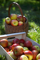 Crate and basket of apples on grass