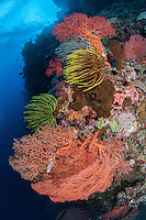 Reef Wall with Crinoids and Sea Fans..Shot in Indonesia..