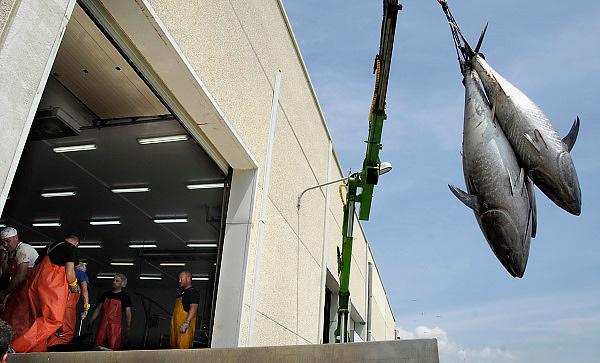 Spanje, Barbate, 8-5-2010Een vissersboot lost haar zojuist gevangen blauwvin tonijn in de haven van Barbate. De vis wordt gewogen en een Japanse handelaar, met hoed en rode overall, keurt de vis, die direct in de visverwerkingsfabiek wordt getakeld waar hij gezaagd en in stukken gesneden wordt, klaar om naar Japan vervoerd te worden en als sushi te eindigen. Deze tonijnen wegen gemiddeld 200 kilo. Het is een nieuwe en moderne faciliteit, en de vissersboot is van dezelfde firma, Frialba. Spaanse vissers vissen tonijn op de traditionele manier van de Almadraba. Tonijnvisserij met de Madrague, een groot net met verschillende kamers, wordt gebruikt om tonijn te vangen op hun weg van de Atlantische Oceaan in de warmere Middellandse Zee. Zodra de school vissen is waargenomen, trekken de vissers de netten omhoog rond de zogenaamde kamer van de dood.Spanish fishing Tuna the traditional way of the Almadraba, and then Japanese buyers buy and prepare the tuna for the Japanese market. Tuna fishing with the madrague, a vast net with various chambers, used to catch tunas on their way from the Atlantic Ocean into the warmer Mediterranean. Once the shoal of fish has been sighted, fishermen pull up the nets around the so-called chamber of death.Foto: Flip Franssen