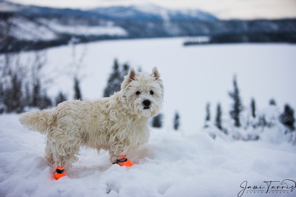A West Highland White terrier covered in snow and ice wearing sled dog booties in a winter landscape, Cowley Lake, The Yukon Territory, Canada