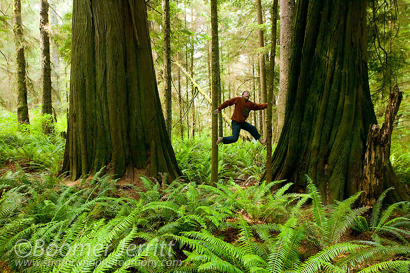 Two giant Cedar trees frame this agile climber and give perspective as to how large these trees can bercome on the West Coast.  Hanson Island, Northern Vancouver Island, British Columbia, Canada.