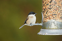 Coal Tit (Parus ater) at feeder, Westerham, England, : Photo by Peter Llewellyn