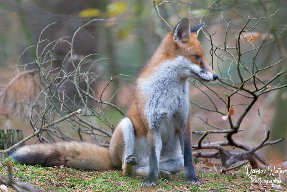 Full body image of Fox in woodland setting