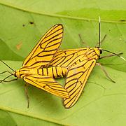Amata tigrina moths mating in Pang Sida National Park Thailand.
