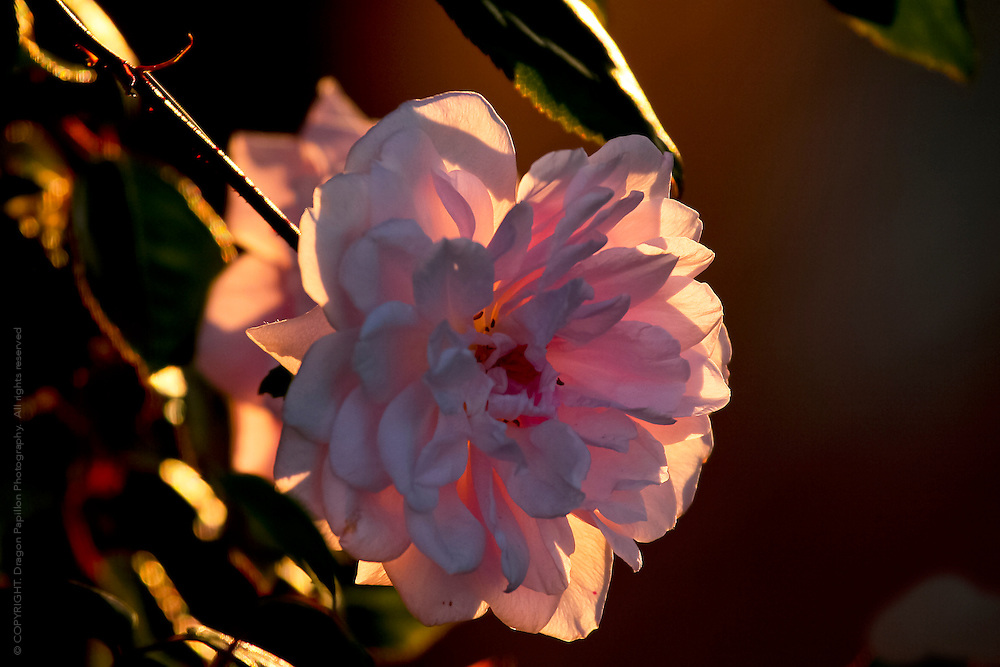 pink rose in full bloom with natural sunlight shining through petals