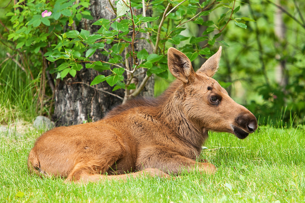 Less than a month old, a newborn moose calf rests in the relative safety of a residential backyard in Eagle River in Southcentral Alaska.  Spring. Morning.