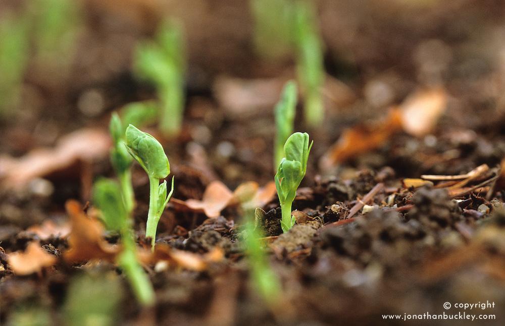 Pea seedlings sown in open ground