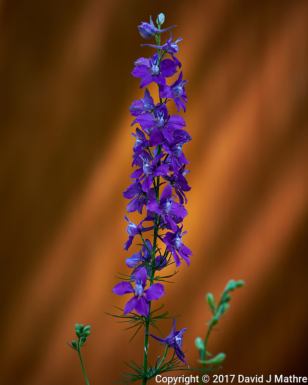 Blue Larkspur flowers (?). Backyard spring nature in New Jersey. Image taken with a Fuji X-T2 camera and 60 mm f/2.4 macro lens (ISO 200, 60 mm, f/2.8, 1/750 sec).