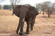 An elephant (Loxondonta africana) eating a tree branch in Tarangire National Park, Manyara Region, Tanzania, Africa